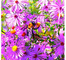 Bumble Bee Bopp Flower Colour Photographic Print