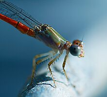 Odonata-Zygoptera Northern Territory by Jules Campbell
