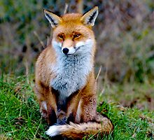 British Red Fox sat waiting  by Dave  Knowles