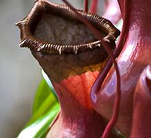 Pitcher Plant by Calelli
