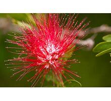 BottleBrush Flower Photographic Print