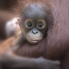 Baby Orang Utan by ismudianto