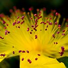 Hypericum by Svetlana Sewell
