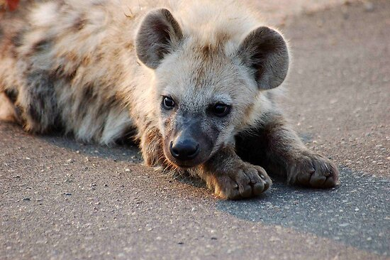 THE HYENA 'PUP' - THE KRUGER NATIONAL PARK, South Africa by Magaret Meintjes
