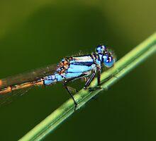 Blue Dragonfly by fishcando