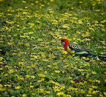 Rosella by Rob Beckett