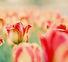 tulips 1 by sweetbliss
