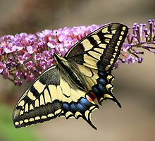 Swallowtail Butterfly on Buddleia by Michael Field