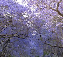 before the jacaranda festival by betty porteus