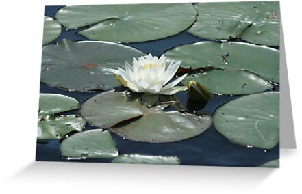 Lilly Pad by Lynn  Gibbons