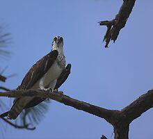 Sea hawk  by kathy s gillentine