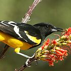 Scott's Oriole by tonybat