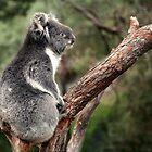 Koala, Australia by Michael Boniwell