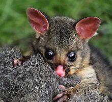 Possum by Sophie cooper