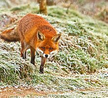 Fox in the frost by Dave  Knowles