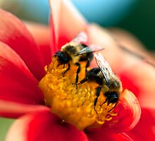 Bees on a dahlia by Beth Wold