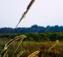 Tall Grass by Rick  Bender