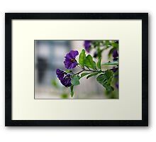Solanum Rantonnetii With Garden Background Framed Print