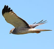 Northern Harrier in flight by Wing Tong