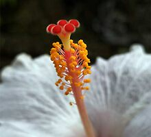 White Hibiscus Rosasinesis by Vieren