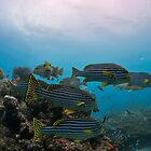 School of sweetlips by Aziz T. Saltik