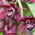 Ruby Orchid by Ann Douthat