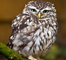 Little owl sat on a branch by Dave  Knowles