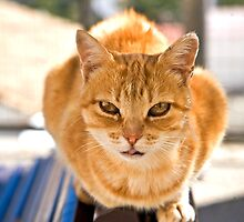 Ginger Tom by Dave  Knowles