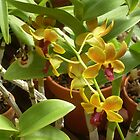 Yellow Orchids by Felicia722