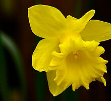 Daffodil by Paul Earl
