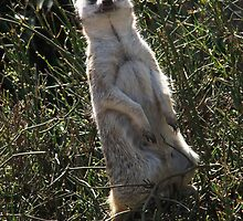 Meerkat with fangs by sath