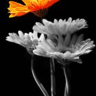 orange flower by DareImagesArt