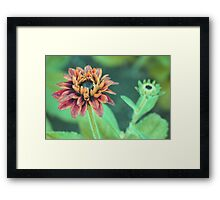 Gorgeous Gazania Framed Print
