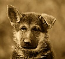 German Shepherd Puppy II by Sandy Keeton