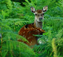sika deer by scott hanham