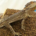 Bearded Dragon by Peta Hurley-Hill