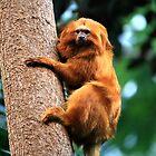 Monkey Alouatta seniculus by terrebo