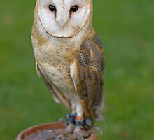 Barn Owl by Jon Lees