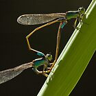 Damselflies by thousandsmile