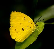 Lemon Migrant Butterfly by margotk