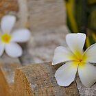 Frangipani's (Plumeria) by PhysioDave