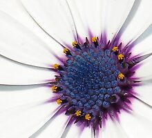 Beautiful White African Daisy Close-Up  Macro by taiche