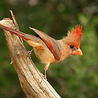 Northern Cardinal, female by tonybat