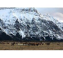 Elk Herd at Waterton Photographic Print