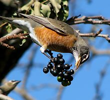 Adult Male American Robin by swaby