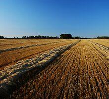 oat swaths by Heath Dreger