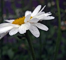 Daisies After The Storm - Highlight The Beauty by elise1bloom