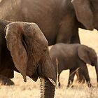 Elephants - Tarangiri National Park, Tanzania - 845, 10/11/10 by timstathers