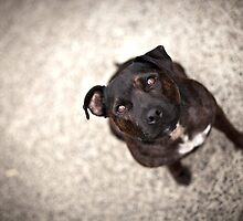 Angel the Staffordshire Bull Terrier by ruthlessphotos