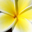 Frangipani by Debbie  Widmer